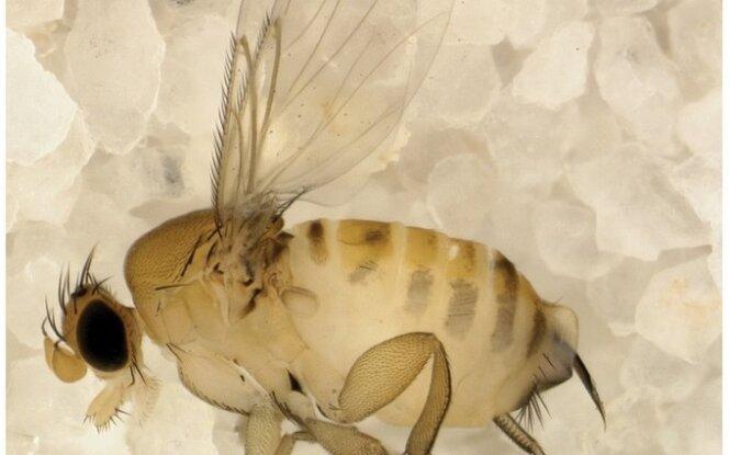 Apocephalus borealis lervos bites paverčia zombiais